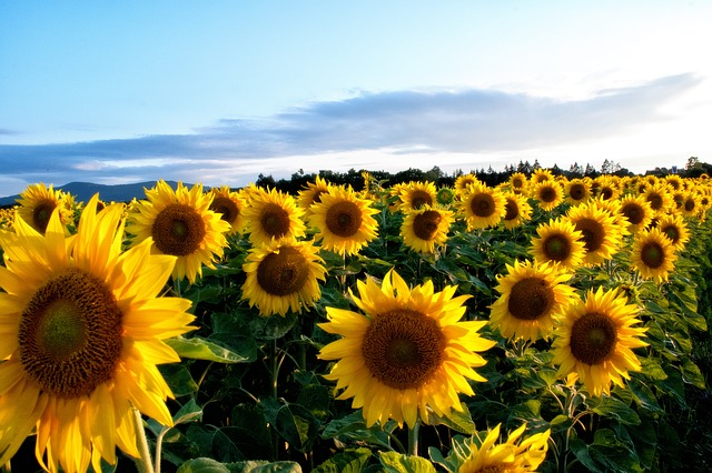 sunflower-63758_640